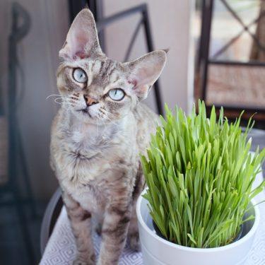 Katzengras ist für Katzen wichtig