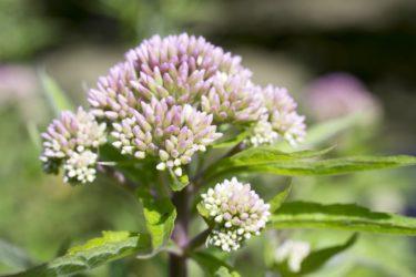 Baldrianpflanze