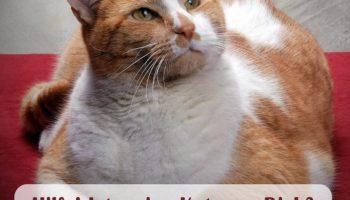 Übergewicht bei Katzen – Ab wann die Katze abnehmen sollte