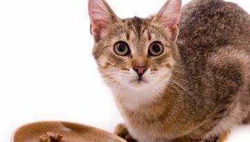 bigstock-Beautiful-bengal-cat-eats-cat-309326721