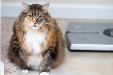 Katze soll abnehmen: Diätfutter für Katzen