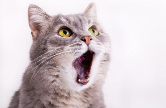 Hilfe meine Katze hat Mundgeruch – Ursachen & Lösungen
