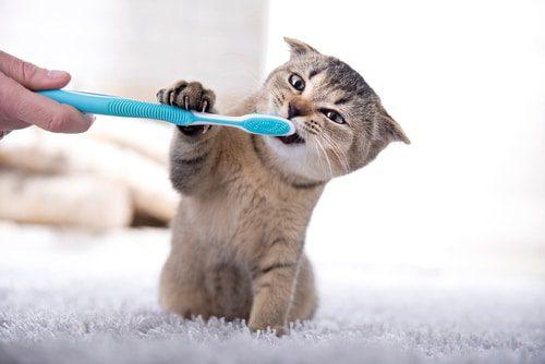 Zahnpflege Katze