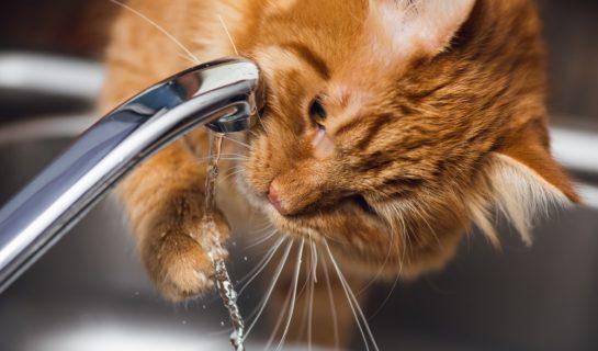 Katze trinkt plötzlich auffällig viel Wasser? Anlass zur Sorge?